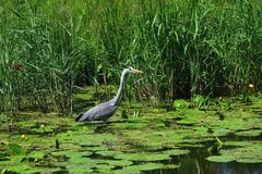 Gray heron on the channel stock photo