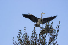 Gray heron  in treetop Stock Image