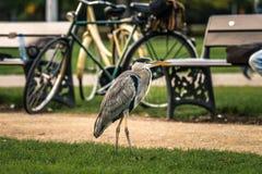 Gray Heron-tribunes naast een vuilvoetpad in een openbaar park royalty-vrije stock fotografie