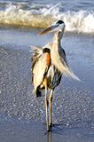 Gray Heron on a Windy Day Royalty Free Stock Photos