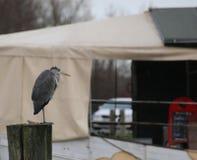 Gray Heron On Wooden Pole royalty free stock photos