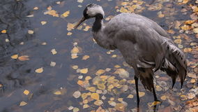 Gray Heron Yellow Leaves stock footage