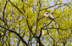 Gray Herons (Cinerea Ardea) op de boom royalty-vrije stock foto's