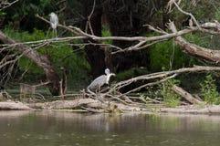 Gray herons Stock Image