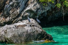 Gray herons stand on a stone near the water of Phuket, Thailand royalty free stock image