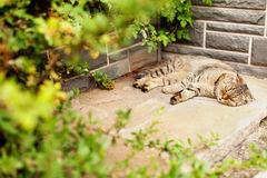 Free Gray Home Exotic Shorthair Tabby Cat Lying In The Garden Royalty Free Stock Image - 78344806