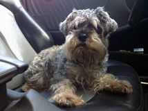 Gray Terrier in the car. Gray homemade hunting dog breeds terrier sits on the front seat of the car royalty free stock images