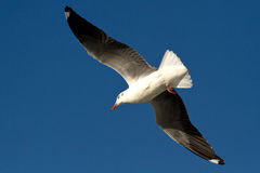 Gray-hooded gull flying in the sky Royalty Free Stock Photography