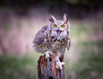 Gray Horned Owl. An angry Gray Horned Owl on a tree Stock Photos