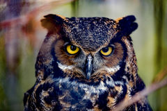Gray horned owl. Close up Royalty Free Stock Photography