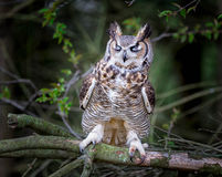 Gray horned owl. With closed eyes Royalty Free Stock Image