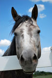 Gray Horse Royalty Free Stock Photo