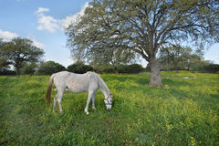The gray horse. Gray horse on the spring meadow Royalty Free Stock Photography