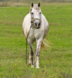 Gray horse. Farm on the background of green grass in the field Stock Photo