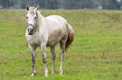 Gray horse. In a pasture Royalty Free Stock Image