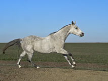 Gray horse Stock Photos
