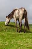 Gray Horse Royaltyfria Foton