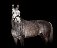 Gray horse against black background Stock Photo