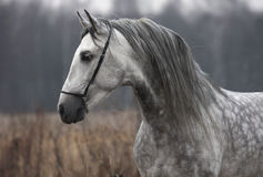 Gray horse autumn. Autumn portrait of a gray horse Stock Photography