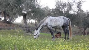 Gray Horse che pasce stock footage