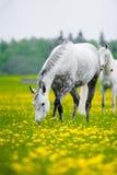 Gray Horse che pasce Immagine Stock Libera da Diritti