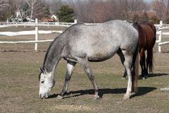 Gray horse in corral Royalty Free Stock Photography