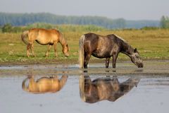 Two horses on the spring meadow watering place. Gray horse drinking water on watering place royalty free stock photography