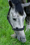 Gray horse eating grass Stock Image