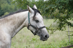 Gray horse eating tree leaves Royalty Free Stock Image