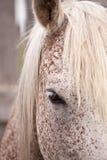 Gray horse eye Stock Images