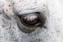 The gray horse eye closeup. Royalty Free Stock Photography