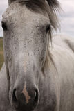 Gray horse face Stock Photo