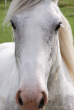 Gray horse full face close up. On a windy day Royalty Free Stock Photo