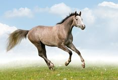 Gray horse galloping in field. In summer Stock Images