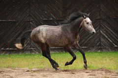 Gray horse galloping at the field Royalty Free Stock Images