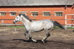 Gray horse galloping in the paddock Stock Photos