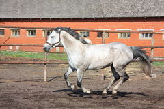 Gray horse galloping in the paddock Stock Image