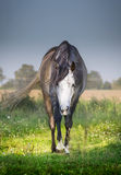 Gray horse  goes on summer green pasture Royalty Free Stock Photo