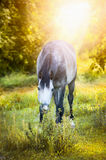 Gray horse graze on autumn landscape Royalty Free Stock Photo