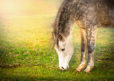 Gray horse graze on sun light on pasture Stock Image