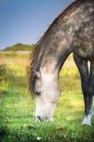 Gray horse grazed , close up. Gray arabian horse grazed , close up Royalty Free Stock Photography