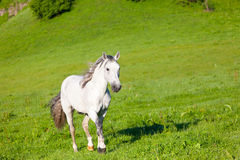 Gray horse Royalty Free Stock Image