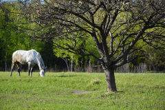 A gray horse is grazing in the apple orchard. The horse tilts his head and eat the grass. Around him is a blossoming fruit tree, young fresh greens Royalty Free Stock Images