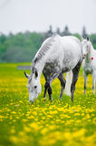 Gray horse grazing Royalty Free Stock Image