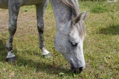 Gray horse in a field Stock Images