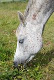 Gray horse grazing in a field Royalty Free Stock Image