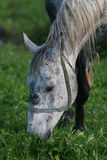 Gray horse grazing in a field. Portrait of a gray horse grazing in a green field Stock Image