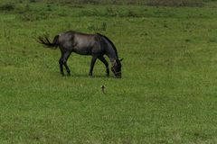 Gray horse grazing on a grass field. Floripa, Brazil. January, 2018. Gray horse grazing on a grass field Stock Images