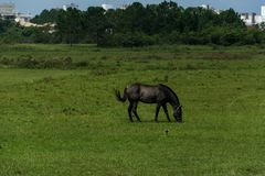 Gray horse grazing on a grass field. Floripa, Brazil. January, 2018. Gray horse grazing on a grass field in an urban area Stock Photo