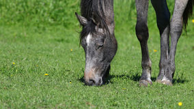 Gray horse grazing in green field background Royalty Free Stock Images